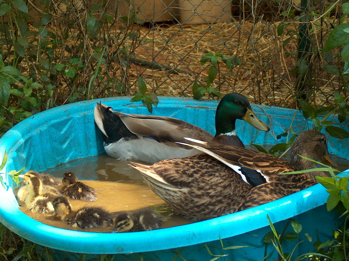Click on an image to see a larger version for Keep ducks out of swimming pool